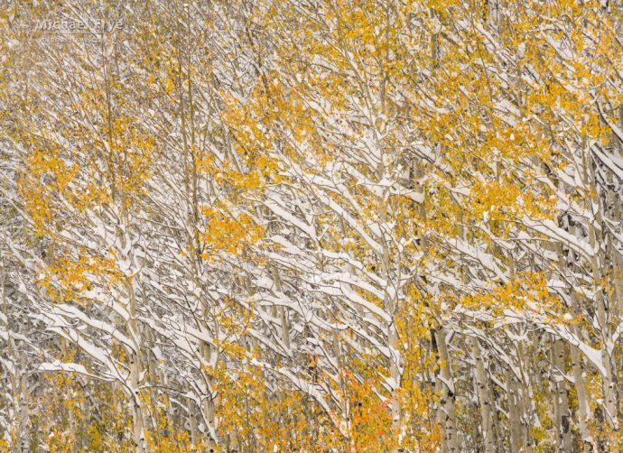 Aspens in snow, autumn, Gore Pass, Medicine Bow-Routt NF, CO, USA