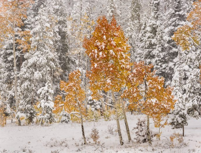Aspens and conifers in snow, autumn, Gore Pass, Medicine Bow-Routt NF, CO, USA