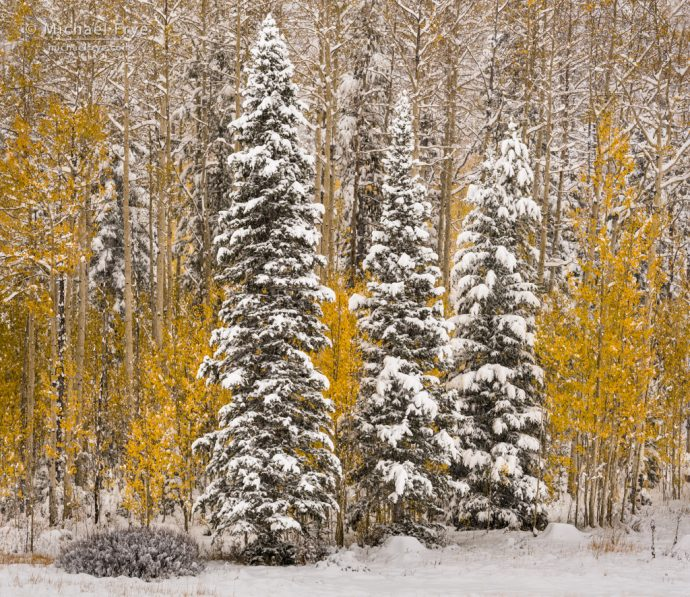 Snowy aspens and conifers, Gore Pass, Medicine Bow-Routt NF, CO, USA