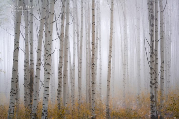 Aspens in fog atop McClure Pass, White River NF, CO, USA