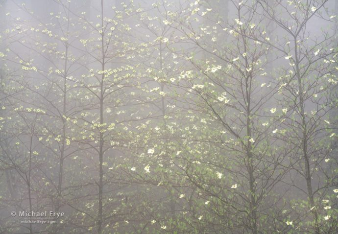 17. Dogwoods in fog, Yosemite NP, CA, USA
