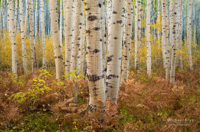 32. Aspens and ferns, autumn, Gunnison NF, CO, USA