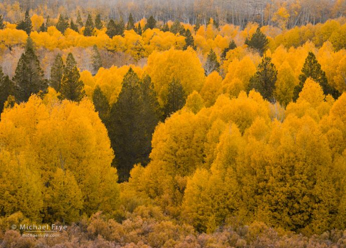 34. Aspens and pines, Tioyabe NF, CA, USA