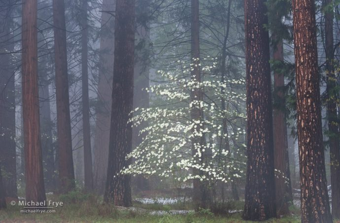 Avoiding Bright Edges: Dogwood, mist, and ponderosa pines, Yosemite NP, CA, USA