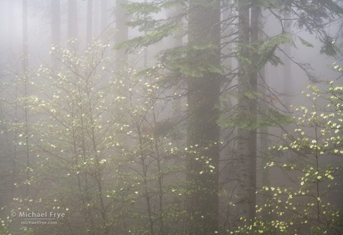 Dogwoods and firs in fog, Yosemite NP, CA, USA