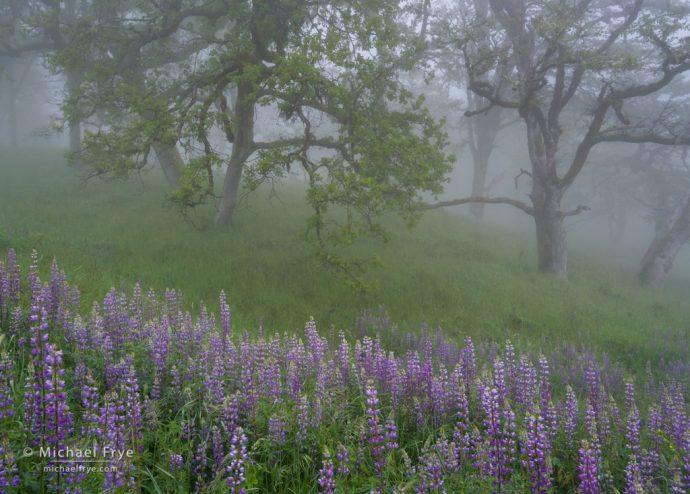 Lupines at the edge of an oak woodland, Redwood NP, northern California, USA