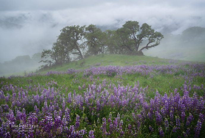 Clearing rain storm with lupines and oaks, Redwood NP, CA, USA
