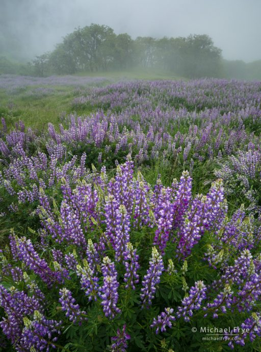 Lupines and oaks in fog, Redwood NP, CA, USA