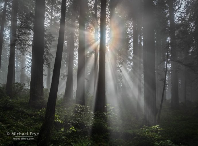 Sunbeams and corona in a redwood forest, Del Norte Coast Redwoods SP, CA, USA