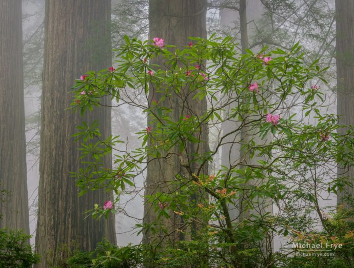 Redwoods and rhododendron in the fog, Del Norte Coast Redwoods SP, CA, USA