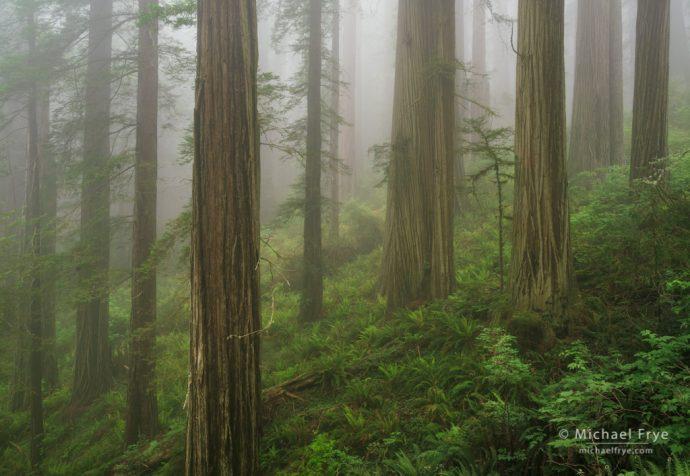 Redwoods in fog, Del Norte Coast Redwoods SP, CA, USA