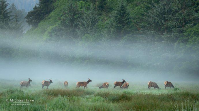 Roosevelt elk in fog, Prairie Creek SP, CA, USA