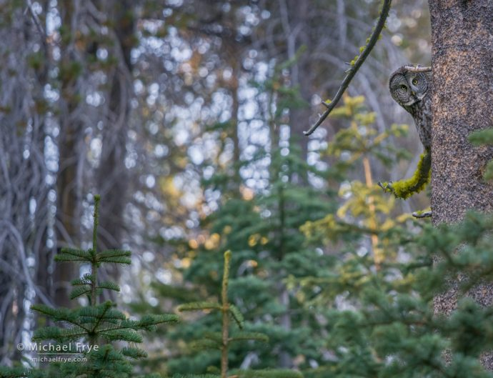 Great gray owl, Yosemite NP, CA, USA