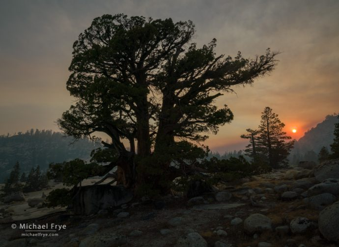 Smoky sunset at Olmsted Point, with a Sierra juniper and lodgepole pines, Yosemite NP, CA, USA