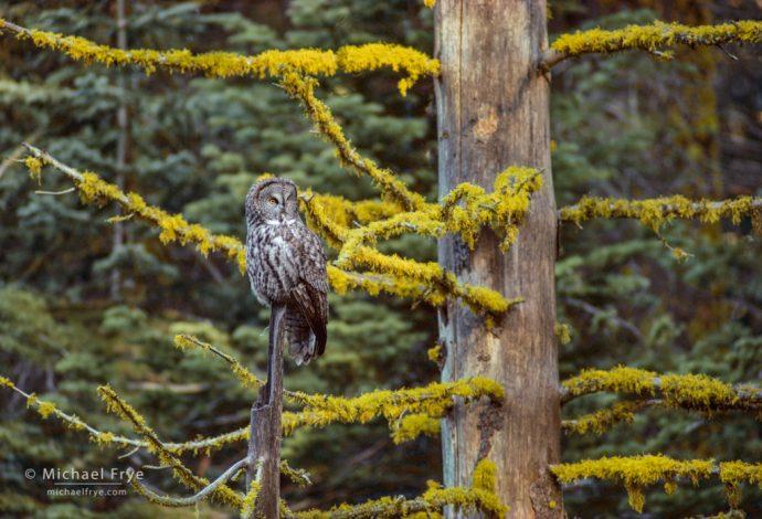 Great gray owl, Yosemite NP, CA, USA