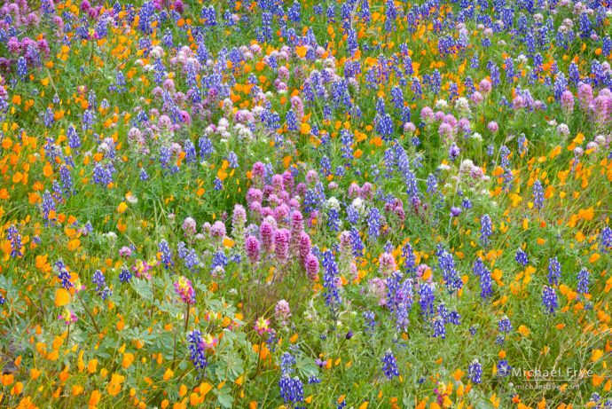 Rebirth: Wildflower mix—poppies, lupine, harlequin lupine, and owl's clover, near El Portal, CA, USA