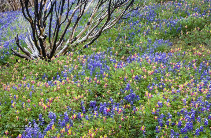 Rebirth: Lupines, harlequin lupines, and burned manzanita bush, Yosemite NP, CA, USA