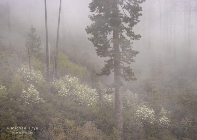 Dogwoods and ponderosa pine in fog, Yosemite NP, CA, USA