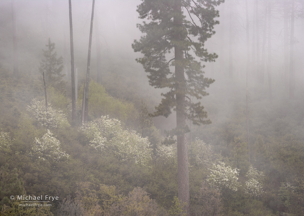 Dogwoods and ponderosa pine in fog, Yosemite NP, CA, USA ...
