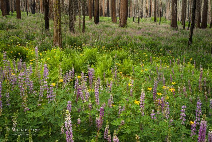 Wildlfowers in an area burned by the Big Meadow Fire, near Crane Flat, Yosemite