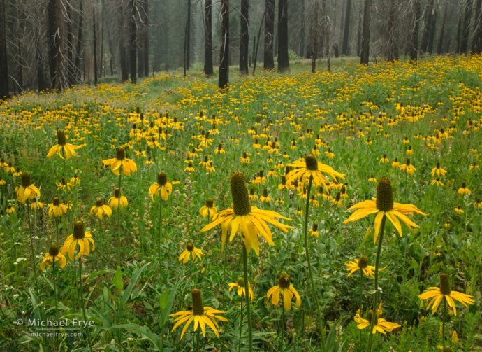 Rebirth: Coneflowers in a burned forest, Yosemite NP, CA, USA