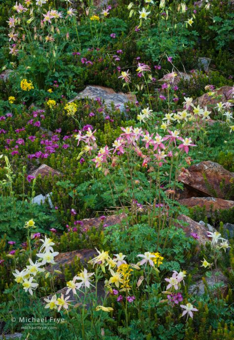 Wildflower mix, Inyo NF, CA, USA - alpine columbines, alpine-crimson columbine hybrids, yellow western wallflowers, red mountain heather
