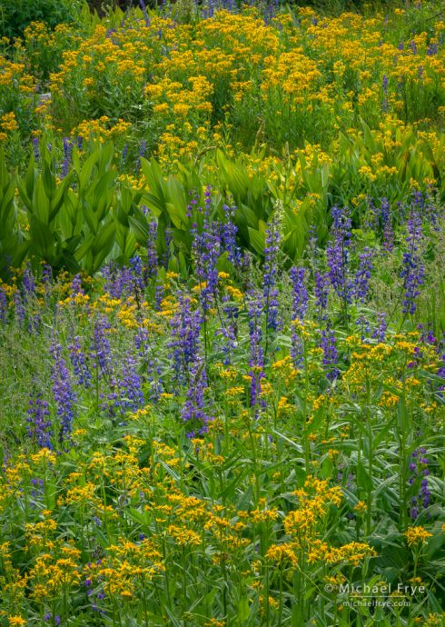 Lupines, arrowhead butterweed, and corn lilies, Yosemite NP, CA, USA