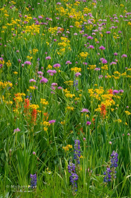 Paintbrush, wild onions, lupines, and arrowhead butterweed, Yosemite NP, CA, USA