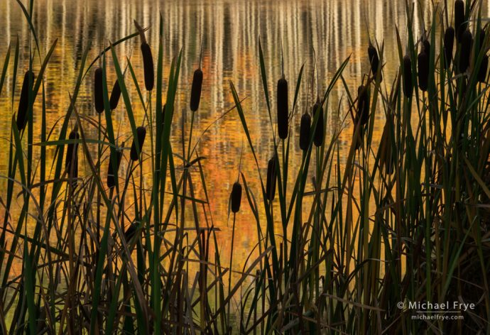 Cattails and aspen reflections, Uncompahgre NF, CO, USA