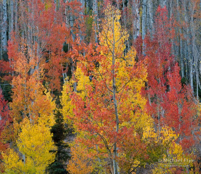 Red and yellow aspens, Uncompahgre NF, CO, USA