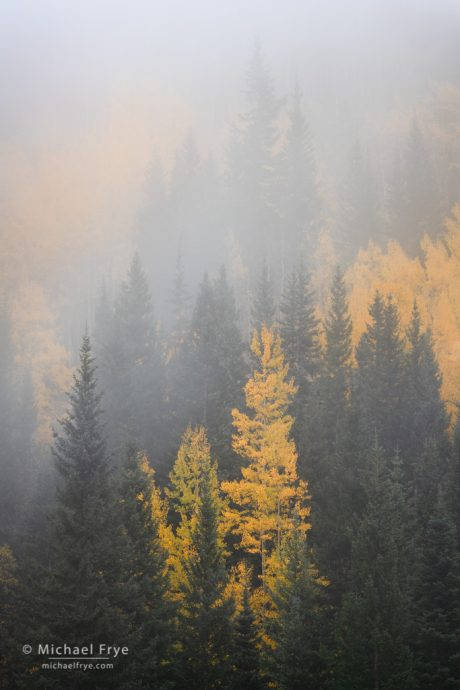 Aspens and conifers in the fog, Uncompahgre NF, CO, USA