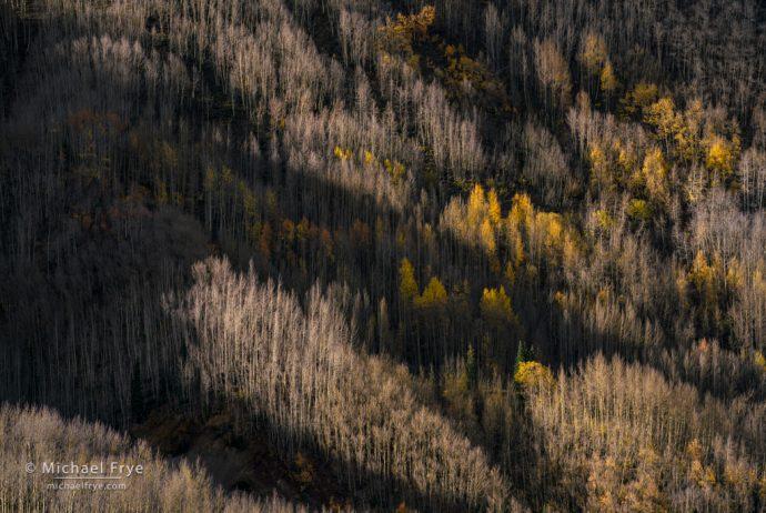 Late-autumn aspens, Uncompahgre NF, CO, USA