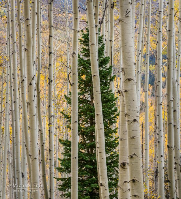 Mountain hemlock among aspens, Uncompahgre NF, CO, USA