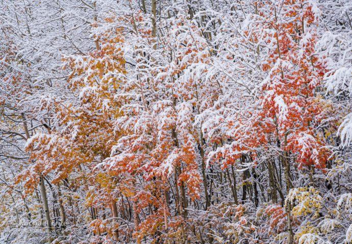 Snow-covered aspens, Uncompahgre NF, CO, USA
