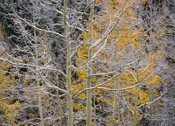 Aspens etched in snow, Uncompahgre NF, CO, USA