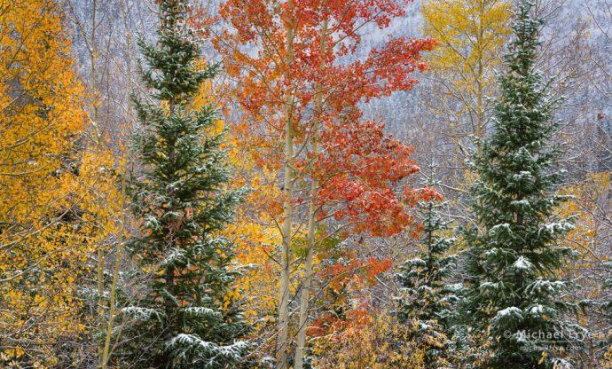 Aspens and mountain hemlocks, Uncompahgre NF, CO, USA