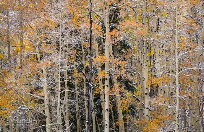 Peach-colored aspens, Uncompahgre NF, CO, USA