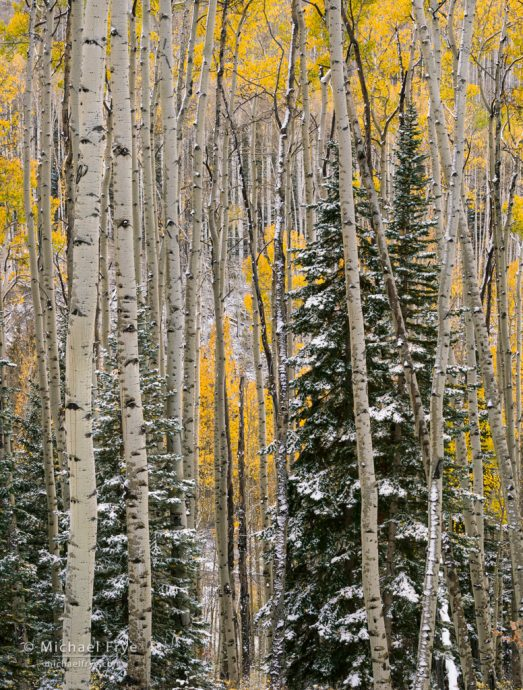 Aspens and mountain hemlocks with snow, Uncompahgre NF, CO, USA