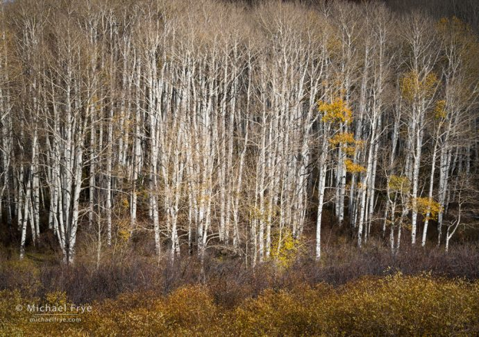 Aspens and willows, Ouray County, CO, USA