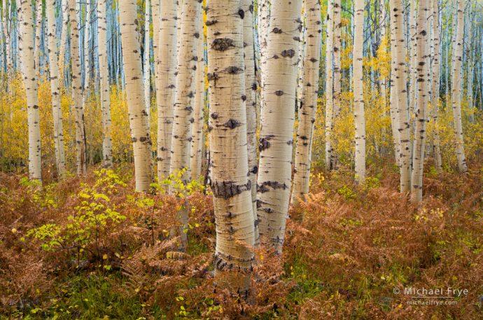 Aspens and ferns, autumn, Grand Mesa-Uncompahgre-Gunnison NF, CO, USA