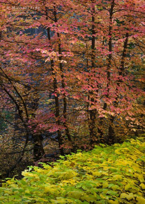 Dogwoods and vine maple, Yosemite NP, CA, USA