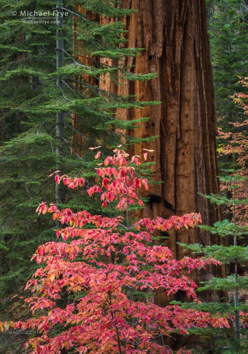 Firs, dogwoods, and giant sequoia, Yosemite NP, CA, USA