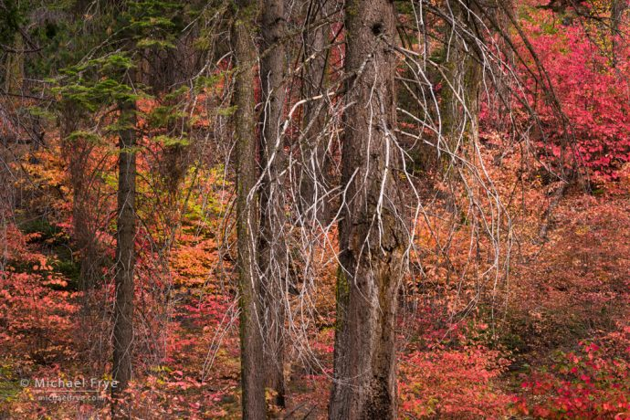 Yosemite fall color: firs and dogwoods, autumn, Yosemite