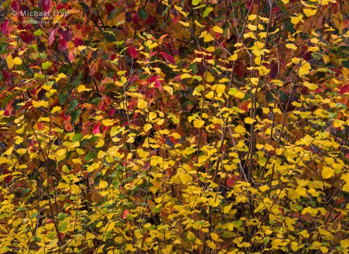 Autumn leaves, Yosemite NP, CA, USA
