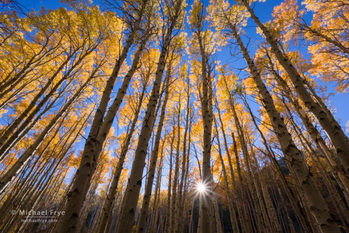 Aspen grove, late afternoon, Lee Vining Canyon, Inyo NF, CA, USA