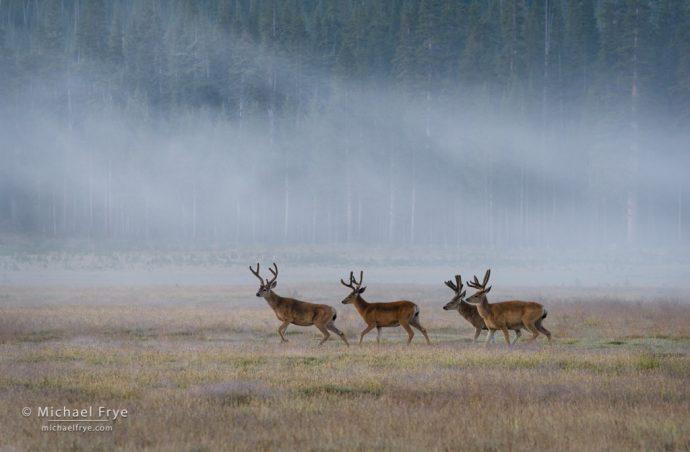 20. Mule deer bucks, Tuolumne Meadows, Yosemite