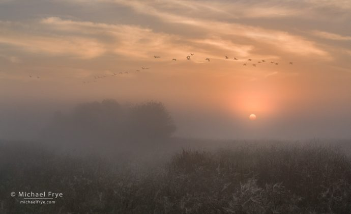 Sandhill cranes at sunrise on a foggy morning in the San Joaquin Valley, CA, USA