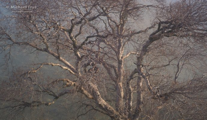 Sycamore and fog, Sierra Nevada foothills, Mariposa County, CA, USA