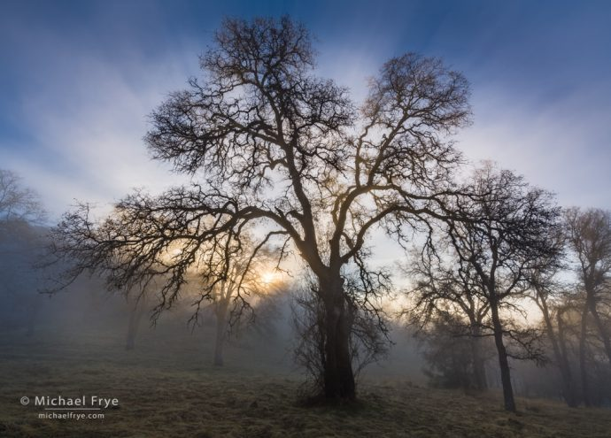 Sun breaking through the fog in a blue oak woodland, Mariposa County, CA, USA