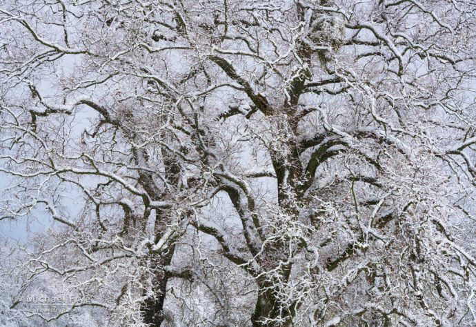 Valley oaks in snow, Mariposa County, CA, USA